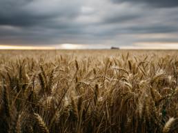 Wheat field, Food sector