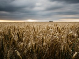 Wheat field, Food sector
